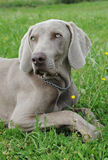 Puppy weimaraner dog Royalty Free Stock Photos
