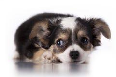 Puppy weinig Royalty-vrije Stock Afbeeldingen