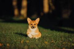 Puppy Welsh corgi dog lay on grass. green park on background stock photos