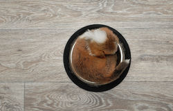 Puppy welsh corgi pembroke asleep in a bowl. Royalty Free Stock Photography