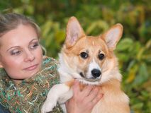 Puppy of welsh corgi pembroke with owner Stock Photo
