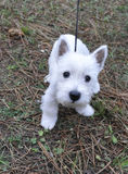 Puppy of west highland white terrier. Very curious who look the camera stock photo