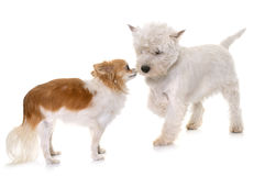 Puppy west highland white terrier and chihuahua Stock Image