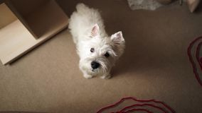 Puppy west highland white terrier. stock video footage