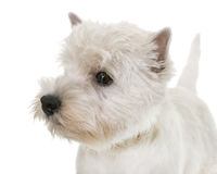 Puppy west highland white terrier Stock Image