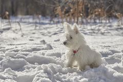 Puppy of West Highland White Terrier in winter forest. Small puppy of West Highland White Terrier in winter forest. Very cute stock photography