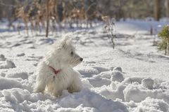 Puppy of West Highland White Terrier in winter forest. Small puppy of West Highland White Terrier in winter forest. Very cute royalty free stock images