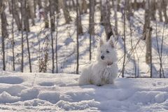 Puppy of West Highland White Terrier in winter forest. Small puppy of West Highland White Terrier in winter forest. Very cute royalty free stock photo