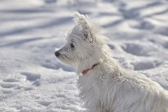 Puppy of West Highland White Terrier in winter forest. Small puppy of West Highland White Terrier in winter forest. Very cute royalty free stock image