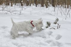 Puppy of West Highland White Terrier in winter forest. Small puppy of West Highland White Terrier in winter forest. Very cute royalty free stock photos