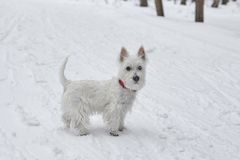Puppy of West Highland White Terrier in winter forest. Small puppy of West Highland White Terrier in winter forest. Very cute stock photo