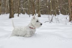 Puppy of West Highland White Terrier in winter forest. Small puppy of West Highland White Terrier in winter forest. Very cute stock image
