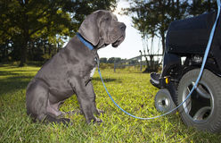 Puppy and wheelchair Royalty Free Stock Photography