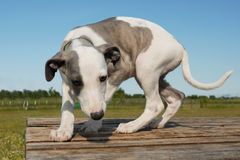 Puppy whippet Royalty Free Stock Photo
