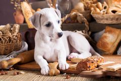 Puppy whippet and biscuit cookies Royalty Free Stock Image