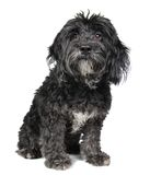 Puppy on White Royalty Free Stock Images