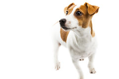 Puppy on white Royalty Free Stock Image