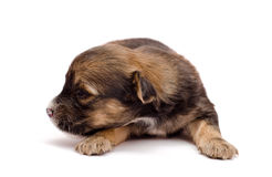 Puppy on white background Royalty Free Stock Photo