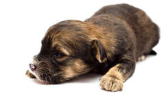 Puppy on white background Royalty Free Stock Image