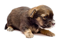 Puppy on white background Stock Images