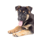 Puppy on a white background Royalty Free Stock Photos
