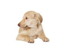 Puppy on a white background Royalty Free Stock Photo