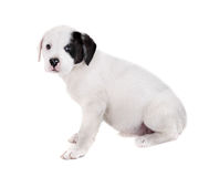 Puppy on a White Background Royalty Free Stock Photography