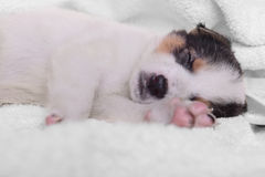 Puppy on a white blanket Stock Photos
