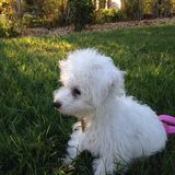 Puppy. White dog small cute grass stock photography