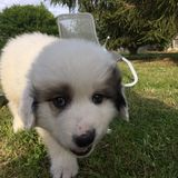 Puppy white royalty free stock photo