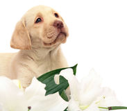 Puppy with a white flower. Stock Image
