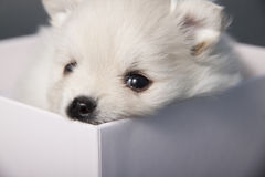Puppy White German Spitz in a white box. Royalty Free Stock Photos