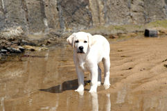 Puppy  White Labrador Royalty Free Stock Photos