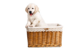Puppy white Labrador posing in a wicker basket Royalty Free Stock Photo