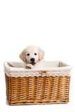 Puppy white Labrador posing in a wicker basket. Beautiful little puppy, breed white Labrador (Retriever), with black eyes and black noses,peeking out of a light Royalty Free Stock Images