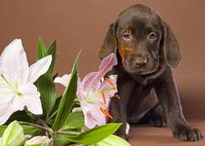 Puppy with white lily Stock Photography