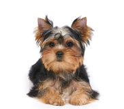 Puppy on white Stock Image