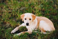 Puppy of a white, pale labrador retriever on green grass in a park in a black collar stock photo