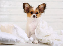 Puppy on white pillows Royalty Free Stock Images