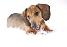 Puppy on white rug. Dachshund puppy dog sitting on a fuzzy white rug with white background. Pet portrait Stock Image