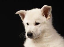 Puppy of the white sheep-dog Stock Images