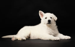 Puppy of the white sheep-dog Royalty Free Stock Photos