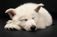 Puppy of the white sheep-dog Stock Photo