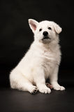 Puppy of the white sheep-dog Royalty Free Stock Image