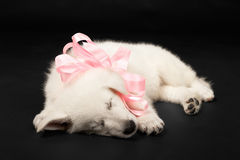 Puppy of the white sheep-dog with a bow on a neck Royalty Free Stock Images