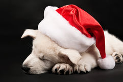 Puppy of the white sheep-dog sleeps in a New Year' Royalty Free Stock Photos