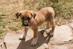 Puppy with white socks looking into camera Royalty Free Stock Photo
