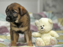 Puppy with a white teddy bear Royalty Free Stock Image