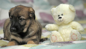 Puppy with a white teddy bear Royalty Free Stock Photo