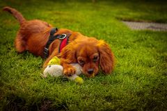 Puppy who is playing with a toy. On the grass stock photography